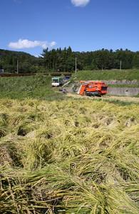 長い間縛られていた稲は、紐をほどかれてもそのままの姿勢だった。