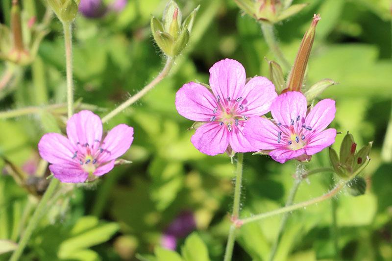 西日本ではピンクの花