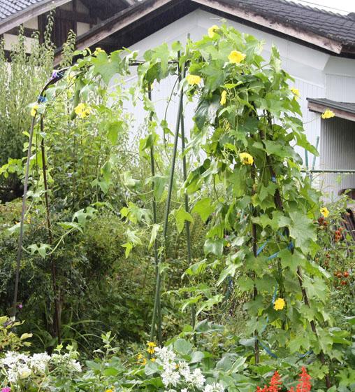 自家栽培のヘチマ