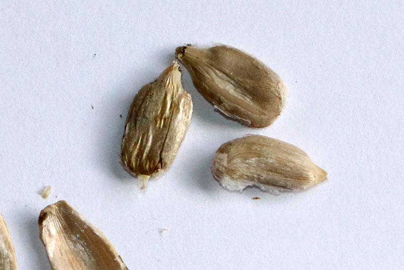 殻をむいた実(種子)